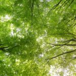 Finding Peace - looking at tree canopy in a forest